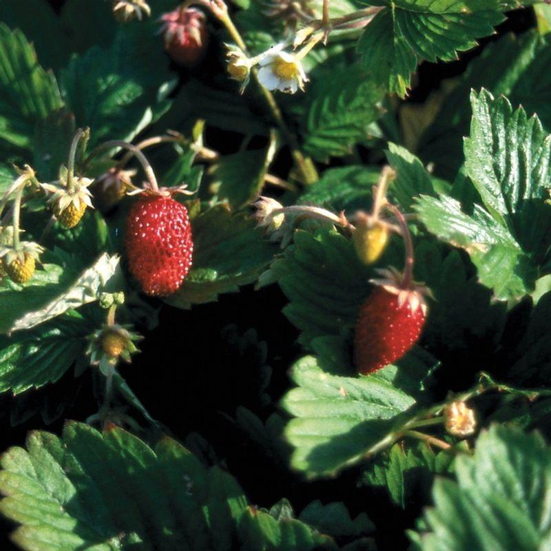 fraisier des quatre saisons nt ferme de sainte marthe. Black Bedroom Furniture Sets. Home Design Ideas