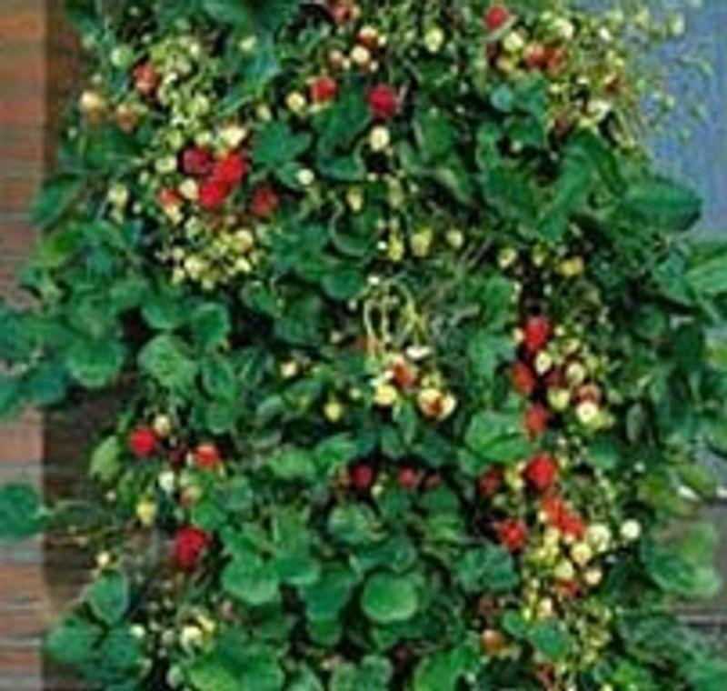 fraisier mount everest godet ferme de sainte marthe. Black Bedroom Furniture Sets. Home Design Ideas