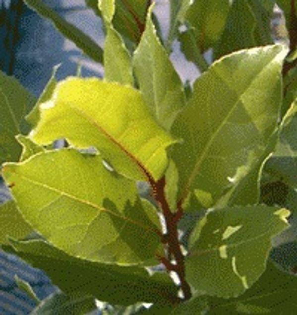 LAURIER SAUCE - PLANT