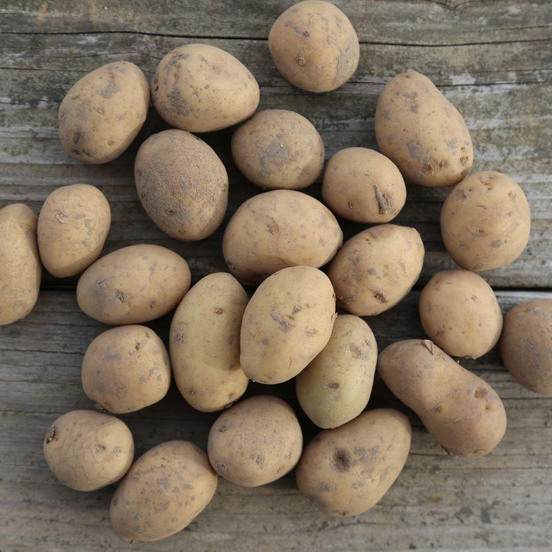 Pomme de terre dolwen de bretagne corolle nt ferme de sainte marthe - Pomme de terre germee comestible ...