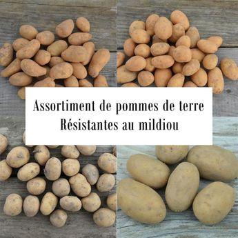 ASSORTIMENT DE POMMES DE TERRE RESISTANTES AU MILDIOU