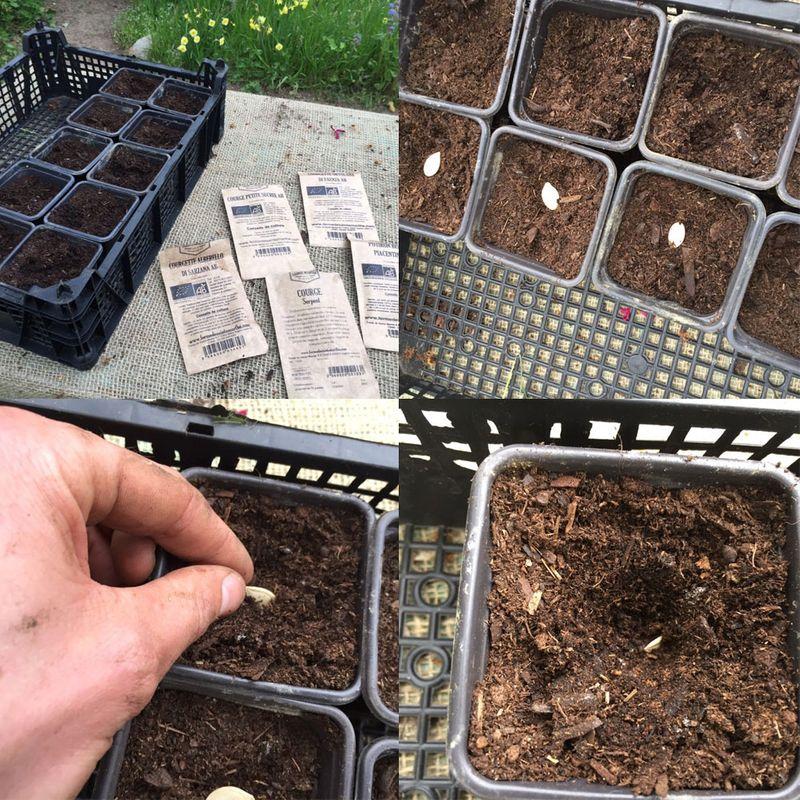 Semis courgettes repiquage en godet de tomate courgette for Semer du gazon au printemps