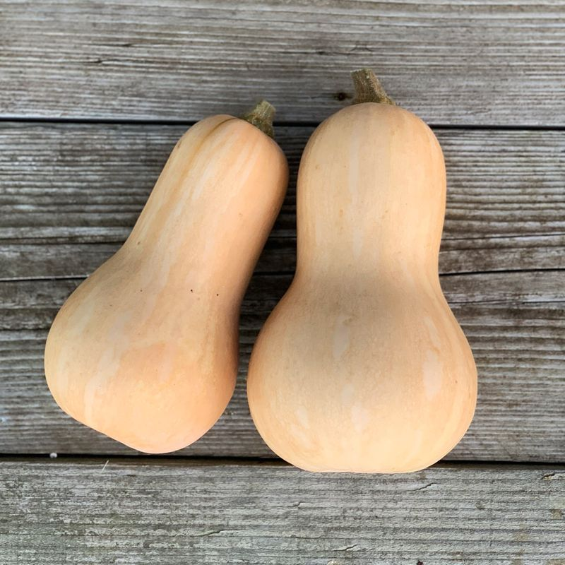 10 graine courge butternut bio//reproductible port unique