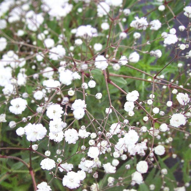GYPSOPHILE BRISTOL FAIRY - PLANT