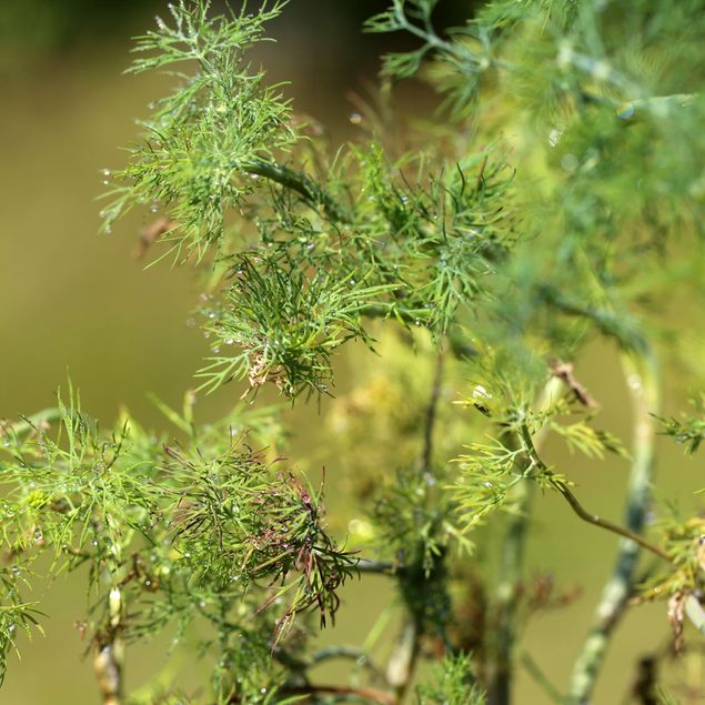 ANETH OFFICINALE AB