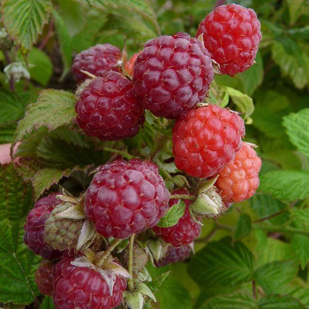 FRAMBOISIER ´AUTUMN BELL´ AB - PLANT
