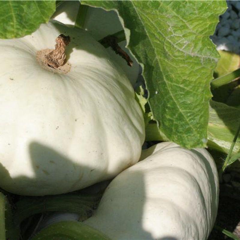 39 courge p tisson blanc cucurbita pepo vexford house - Basilic seche a ne pas consommer ...