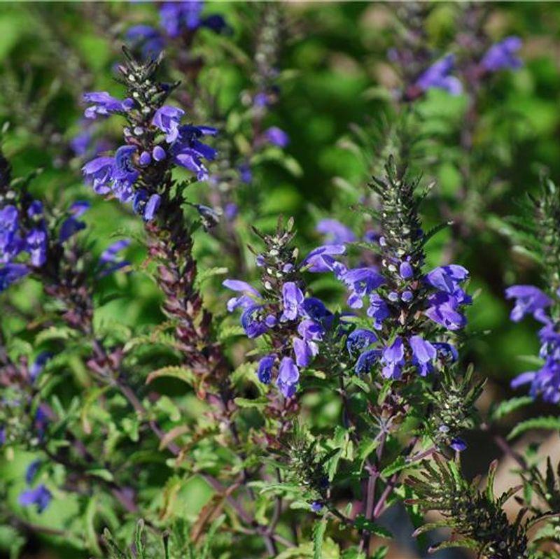 les fleurs du printemps 2014 I-Grande-4383-the-des-jardins-ab.net