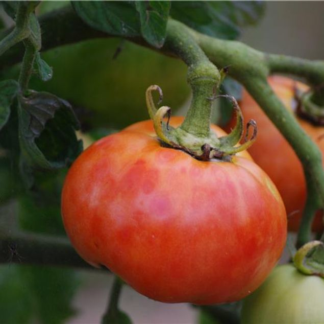 TOMATE DELICATE AB