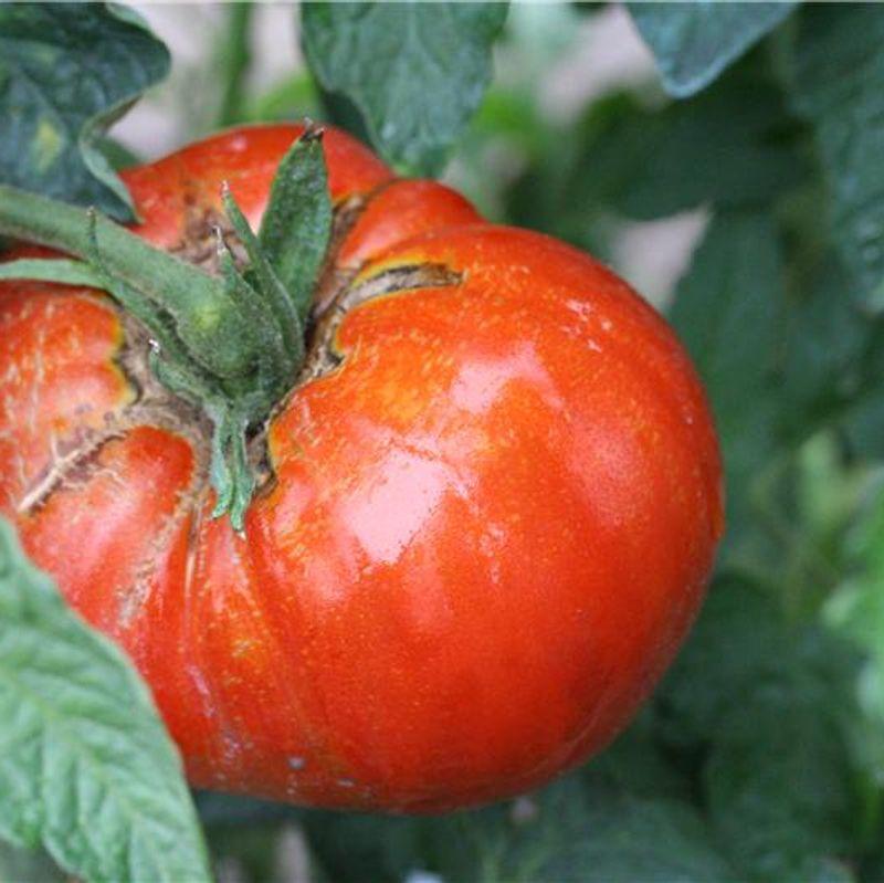 http://www.fermedesaintemarthe.com/I-Grande-4898-tomate-russe-ab-jeunes-plants.net.jpg